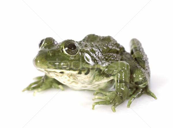 common frog Stock photo © cynoclub