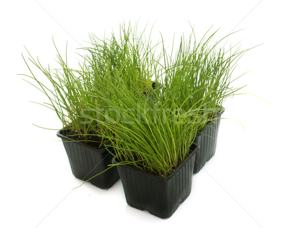 chives in pot Stock photo © cynoclub