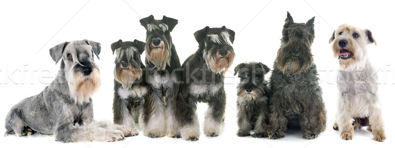 group of Schnauzer Stock photo © cynoclub
