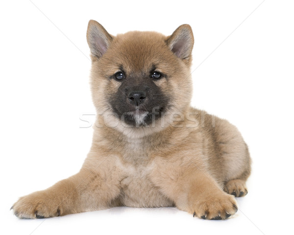 Köpek yavrusu genç hayvan yalıtılmış beyaz arka plan Stok fotoğraf © cynoclub