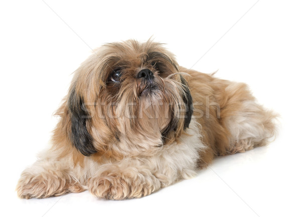 shih tzu dog Stock photo © cynoclub