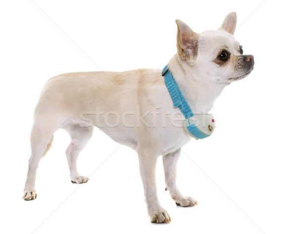 Szoku biały psa szczeniak domowych kory Zdjęcia stock © cynoclub