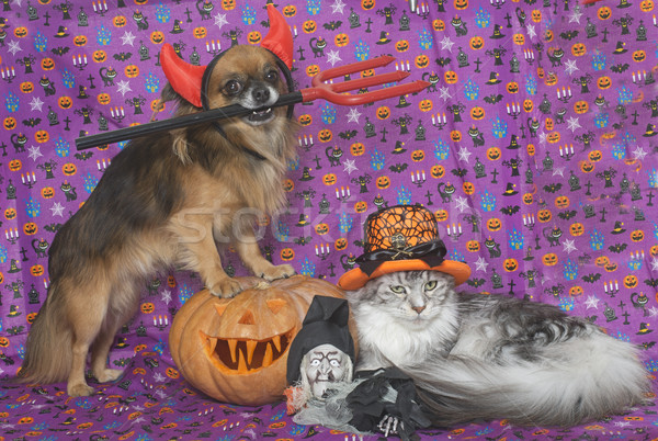 halloween pumpkin, maine coon cat and chihuahua  Stock photo © cynoclub