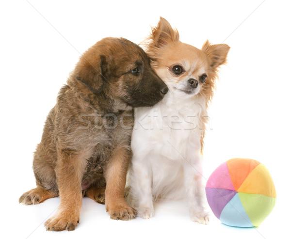 Cucciolo pastore belga cane amici giocattolo animale Foto d'archivio © cynoclub