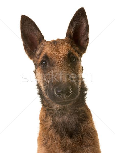 Cucciolo pastore belga ritratto giovani testa animale Foto d'archivio © cynoclub
