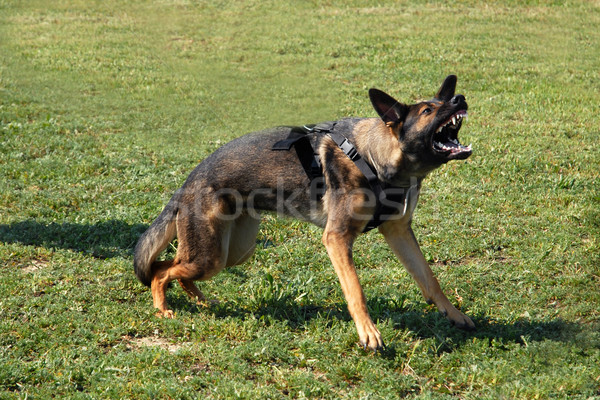 aggressive german shepherd Stock photo © cynoclub
