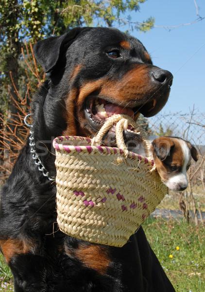 ротвейлер щенков молодые терьер корзины Сток-фото © cynoclub