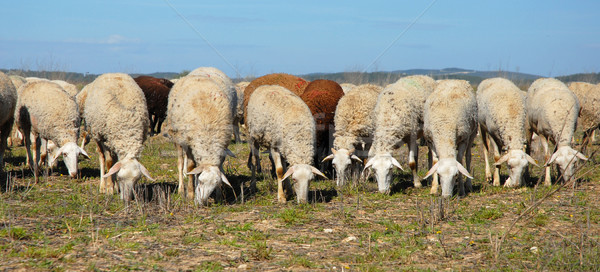 herd of sheeps Stock photo © cynoclub