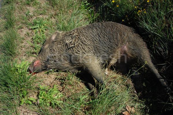 мертвых кабан женщины трава мяса Сток-фото © cynoclub