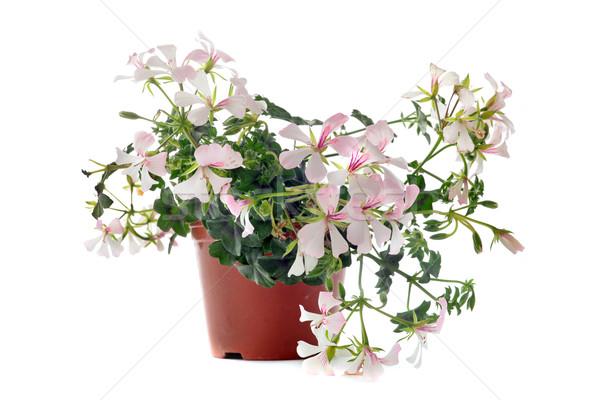 hanging geraniums Stock photo © cynoclub