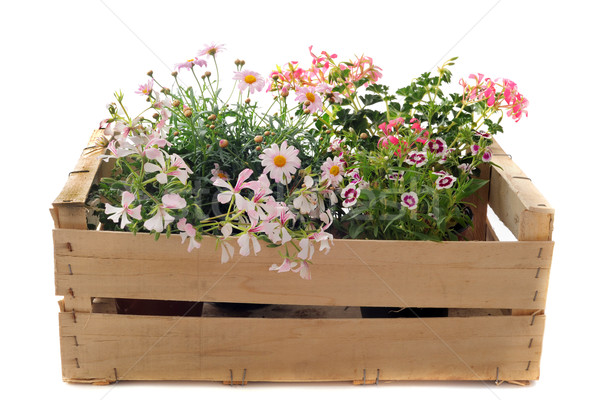 flowers in a crate Stock photo © cynoclub