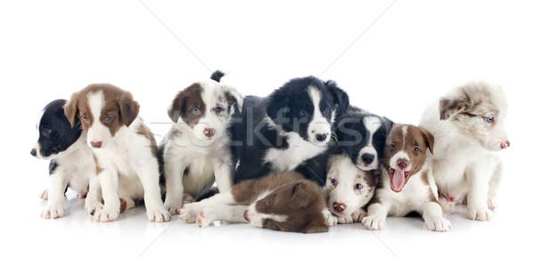 Сток-фото: щенки · границе · портрет · глазах · черный · животного