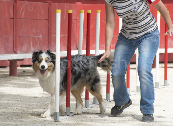 australian shepherd in agility Stock photo © cynoclub