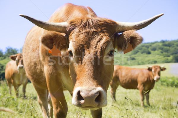 Limousine koe bruin veld portret hoofd Stockfoto © cynoclub