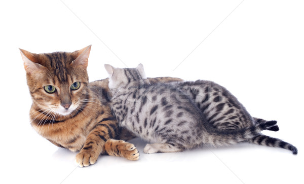 bengal cat and kitten Stock photo © cynoclub