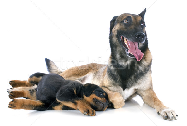 malinois and puppy rottweiler Stock photo © cynoclub
