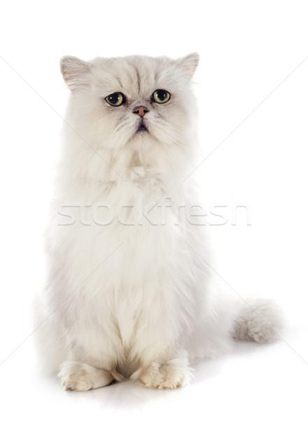 Witte perzische kat kat vergadering huisdier Stockfoto © cynoclub