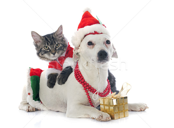 jack russel terrier and kitten Stock photo © cynoclub
