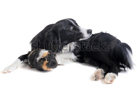 puppies and mother chihuahua Stock photo © cynoclub