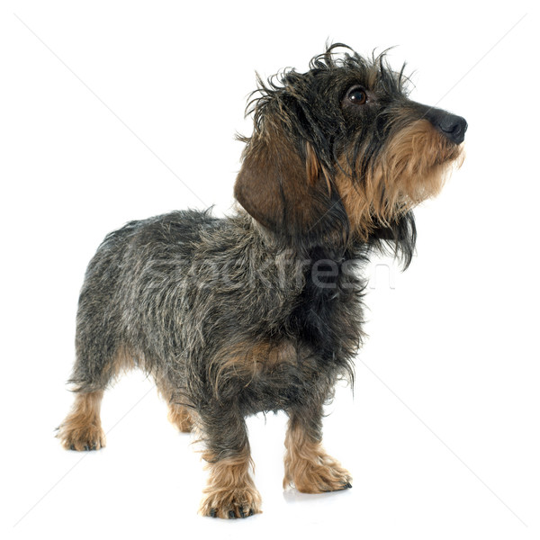 Wire haired dachshund Stock photo © cynoclub