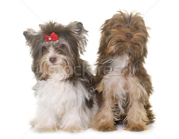 два щенки Йоркшир терьер белый собака Сток-фото © cynoclub