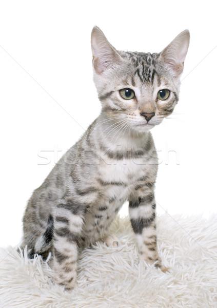 Srebrny bengalski kotek biały kot młodych Zdjęcia stock © cynoclub