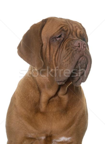 young dogue de bordeaux Stock photo © cynoclub