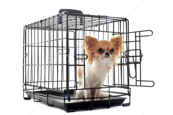 chihuahua in kennel Stock photo © cynoclub