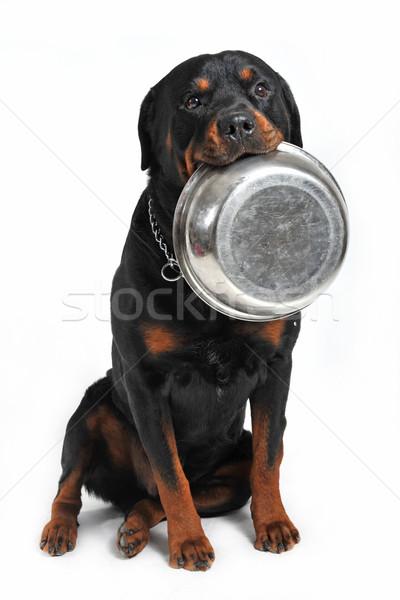 hungry rottweiler Stock photo © cynoclub