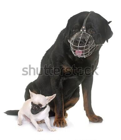 Rottweiler kaganiec portret biały zwierząt Zdjęcia stock © cynoclub