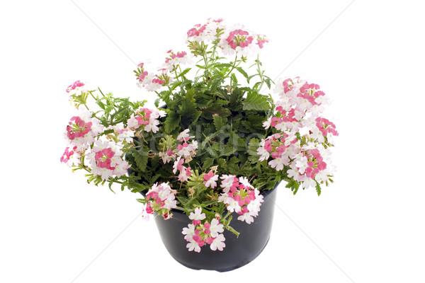verbena flowers Stock photo © cynoclub