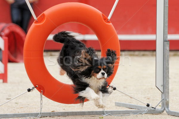 jumping cavalier king charles Stock photo © cynoclub
