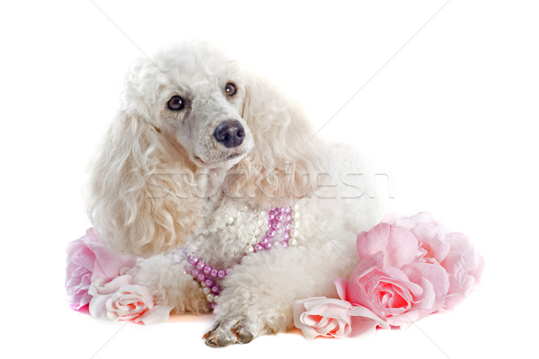 poodle with roses Stock photo © cynoclub