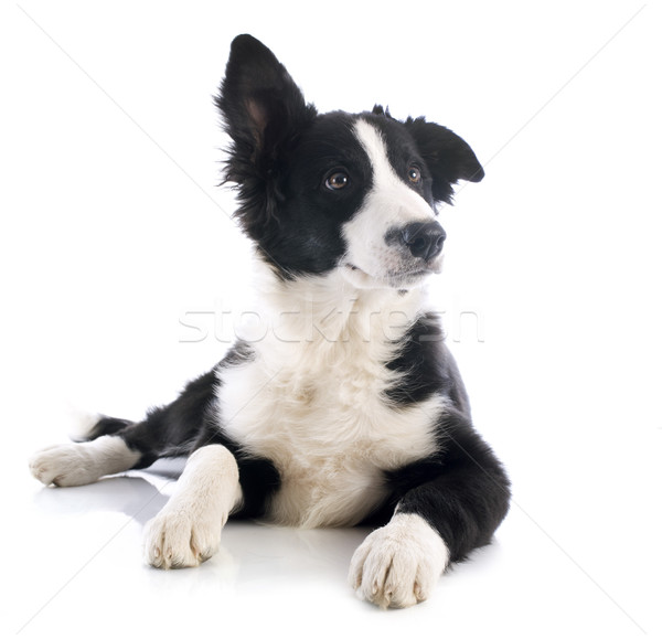 puppy border collie Stock photo © cynoclub