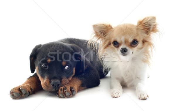 ストックフォト: 子犬 · ロットワイラー · 肖像 · 友達 · 黒