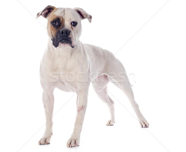 Amerikai bulldog fehér női állat bulldog fehér háttér Stock fotó © cynoclub