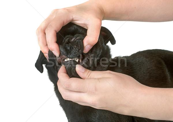 teeth of black pug Stock photo © cynoclub