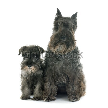two Miniature Schnauzer Stock photo © cynoclub