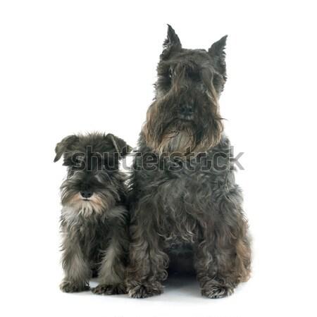 Zwei Miniatur Schnauzer weiß Hund Tier Stock foto © cynoclub
