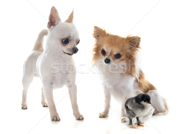 chihuahuas and chick Stock photo © cynoclub