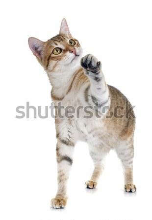 tabby cat Stock photo © cynoclub