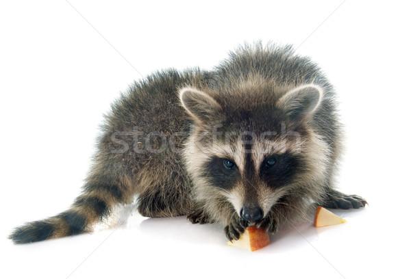 young raccoon eating apple Stock photo © cynoclub