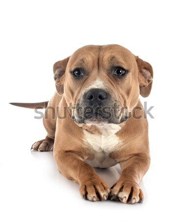 Pasteur chien blanche studio animal Photo stock © cynoclub