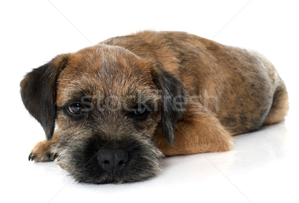purebred border terrier Stock photo © cynoclub
