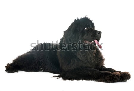 puppy longhair chihuahua Stock photo © cynoclub