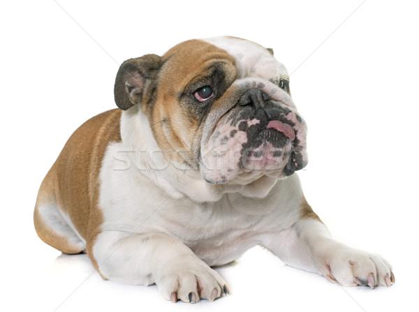 english bulldog in studio Stock photo © cynoclub