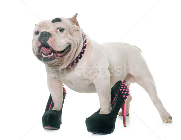 white american bully and court shoes Stock photo © cynoclub