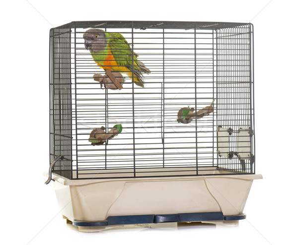 Senegal parrot in birdcage Stock photo © cynoclub