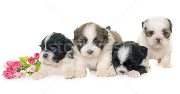 puppies shih tzu Stock photo © cynoclub