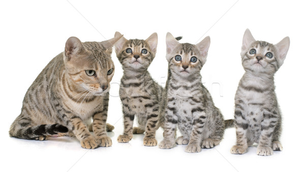 bengal kitten and mother Stock photo © cynoclub